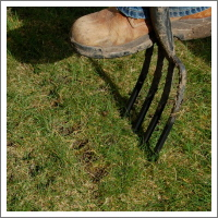 Aerating a lawn with a fork