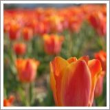 Bright tulips add colour and vibrancy